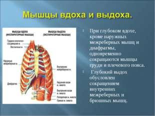 При глубоком вдохе, кроме наружных межреберных мышц и диафрагмы, одновременно