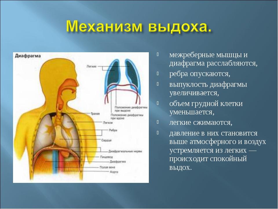 межреберные мышцы и диафрагма расслабляются, ребра опускаются, выпуклость диа...