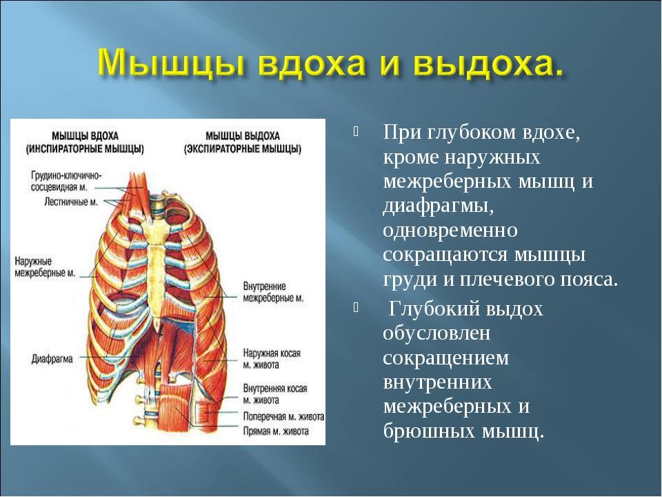 При глубоком вдохе, кроме наружных межреберных мышц и диафрагмы, одновременно...