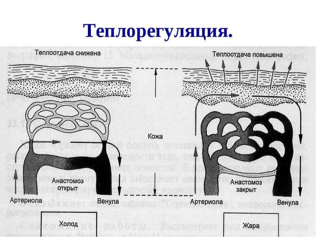 Теплорегуляция. Когда сосуды расширены, через них протекает большее количеств...
