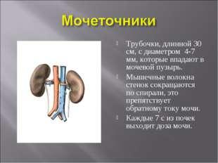 Трубочки, длинной 30 см, с диаметром 4-7 мм, которые впадают в мочевой пузырь