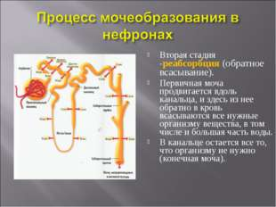 Вторая стадия -реабсорбция (обратное всасывание). Первичная моча продвигается