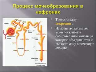 Третья стадия- секреция . Из извитых канальцев моча поступает в собирательные