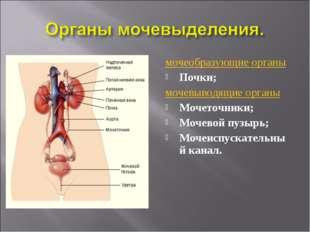 мочеобразующие органы Почки; мочевыводящие органы Мочеточники; Мочевой пузырь