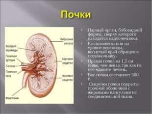 Парный орган, бобовидной формы, сверху которого находятся надпочечники. Распо