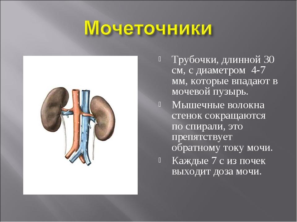 Трубочки, длинной 30 см, с диаметром 4-7 мм, которые впадают в мочевой пузырь...
