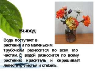 Вывод: Вода поступает в растение и по маленьким трубочкам разносится по всем