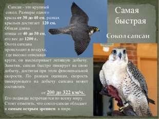 Самая быстрая Сапсан - это крупный сокол. Размеры одного крыла от 30 до 40 см