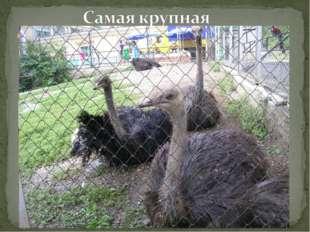 Самая крупная из ныне живущих птиц — высота до 2,44 м, весит до 136 кг. Обита