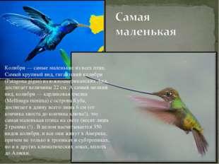 Колибри — самые маленькие из всех птиц. Самый крупный вид, гигантский колибри