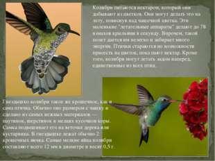Колибри питаются нектаром, который они добывают из цветков. Они могут делать