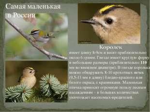 Самая маленькая в России имеет длину 8-9см и весит приблизительно около 6 гра