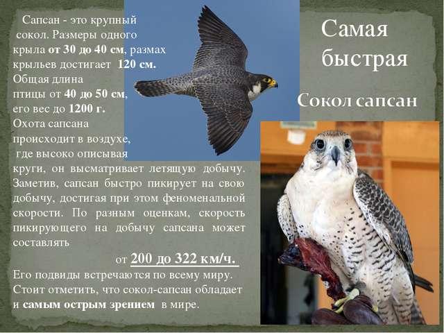 Самая быстрая Сапсан - это крупный сокол. Размеры одного крыла от 30 до 40 см...
