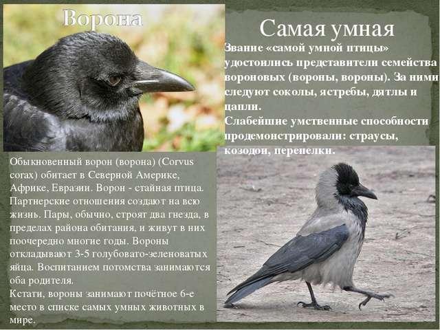 Самая умная Звание «самой умной птицы» удостоились представители семейства во...