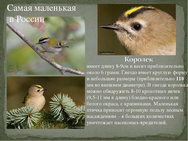 Самая маленькая в России имеет длину 8-9см и весит приблизительно около 6 гра...