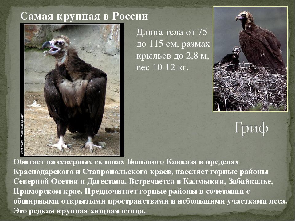 Длина тела от 75 до 115 см, размах крыльев до 2,8 м, вес 10-12 кг. Самая круп...