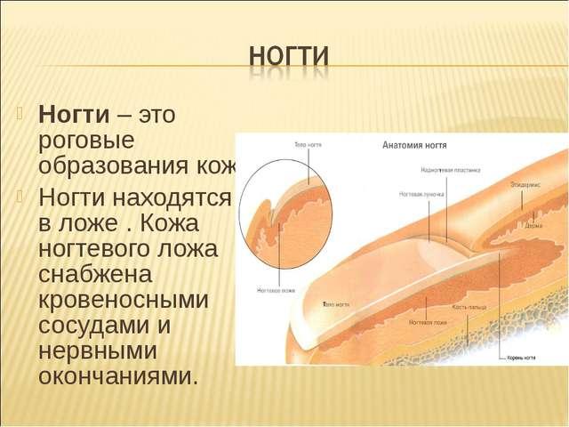 Ногти – это роговые образования кожи. Ногти находятся в ложе . Кожа ногтевого...