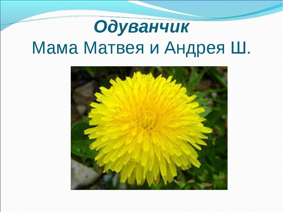 Одуванчик Мама Матвея и Андрея Ш.