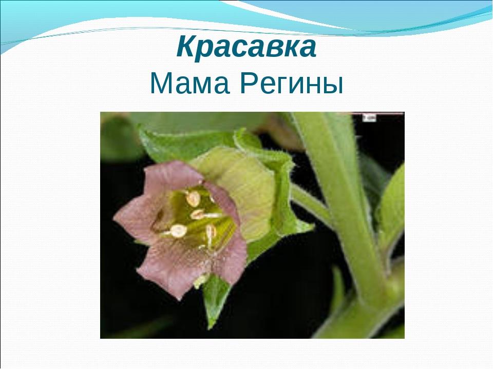 Красавка Мама Регины