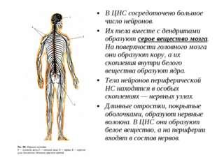 В ЦНС сосредоточено большое число нейронов. Их тела вместе с дендритами образ