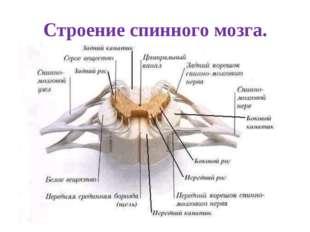 Строение спинного мозга.