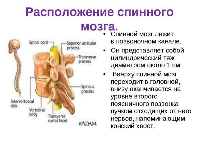 Расположение спинного мозга. Спинной мозг лежит впозвоночном канале. Он пред...