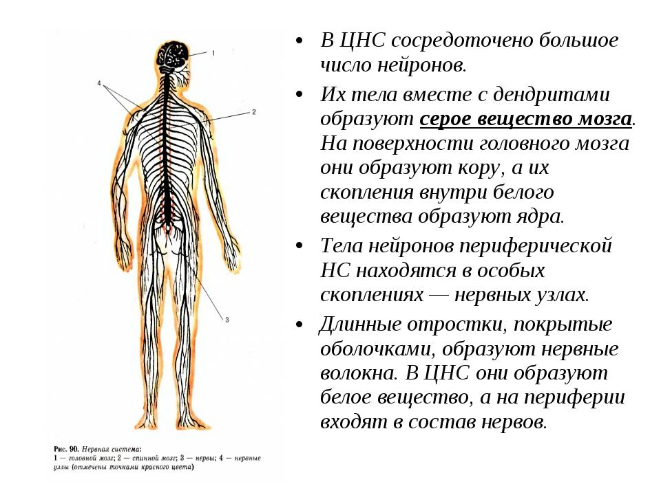 В ЦНС сосредоточено большое число нейронов. Их тела вместе с дендритами образ...