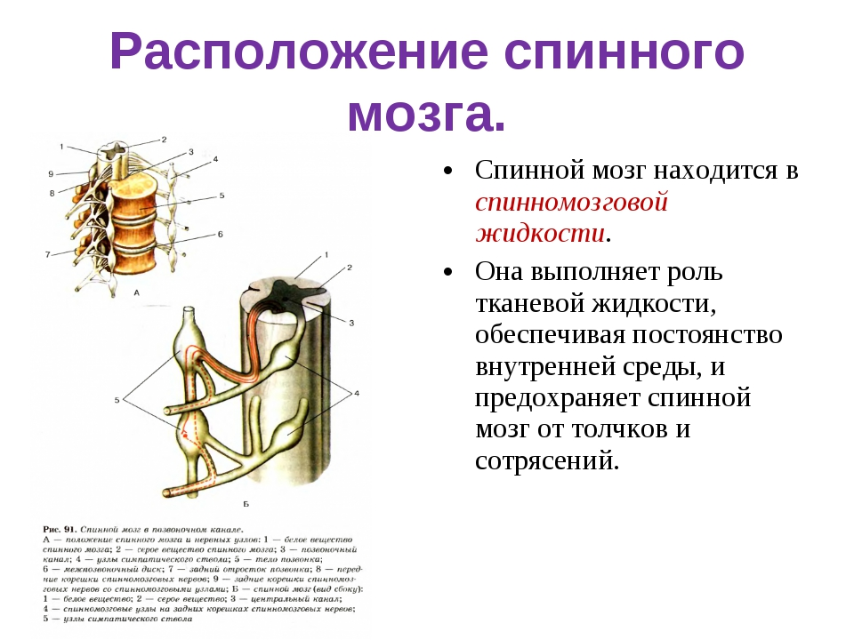 Расположение спинного мозга. Спинной мозг находится в спинномозговой жидкости...