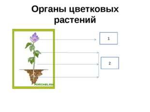 Органы цветковых растений 1 2
