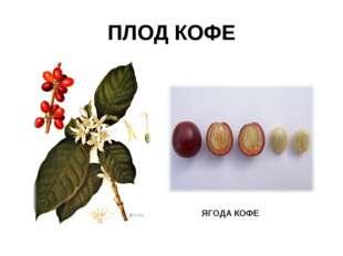 ПЛОД КОФЕ ЯГОДА КОФЕ