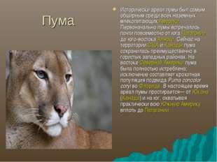 Пума Исторически ареал пумы был самым обширным среди всех наземных млекопитаю