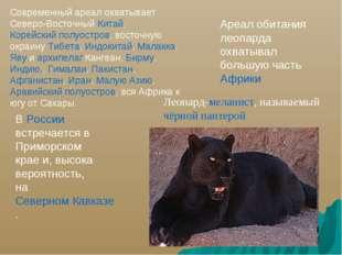 Ареал обитания леопарда охватывал большую часть Африки В России встречается в