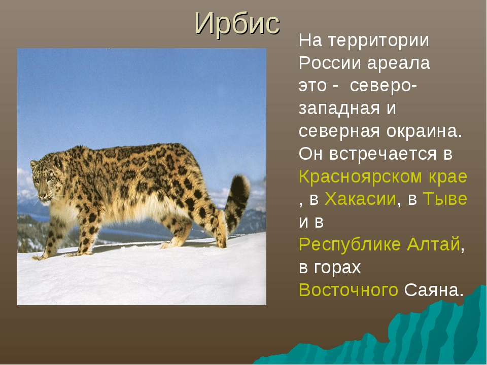 Ирбис На территории России ареала это - северо-западная и северная окраина. О...