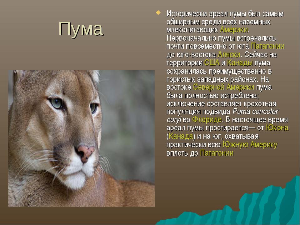 Пума Исторически ареал пумы был самым обширным среди всех наземных млекопитаю...