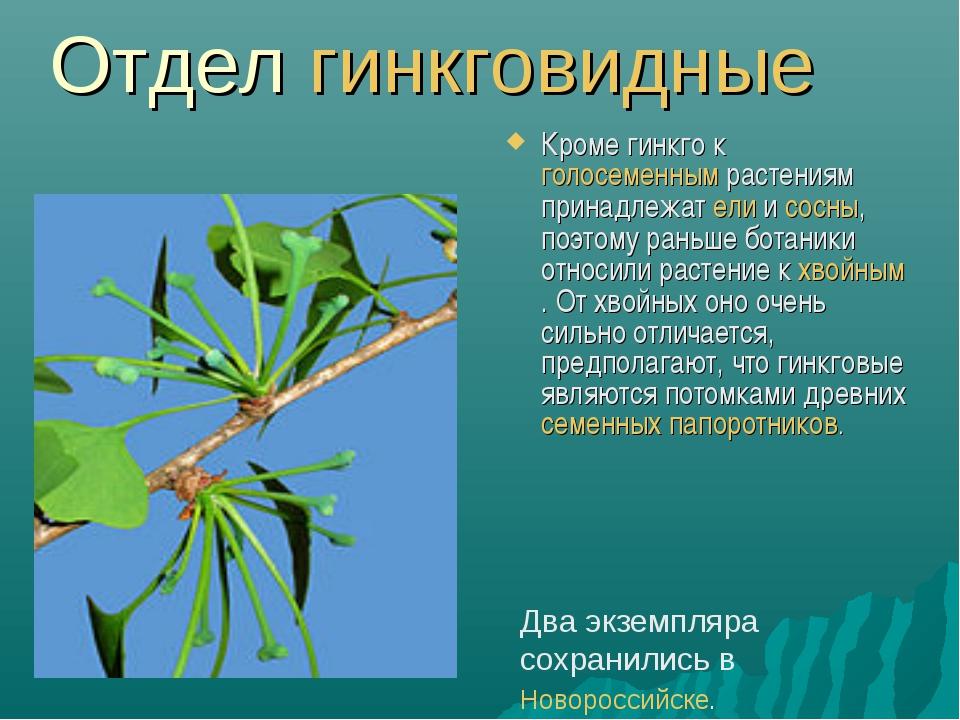 Отдел гинкговидные Кроме гинкго к голосеменным растениям принадлежат ели и со...