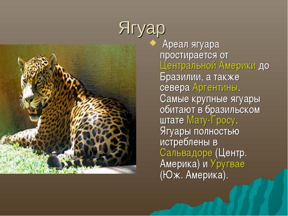Ягуар Ареал ягуара простирается от Центральной Америки до Бразилии, а также с...