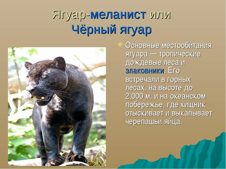 Ягуар-меланист или Чёрный ягуар Основные местообитания ягуара— тропические д...