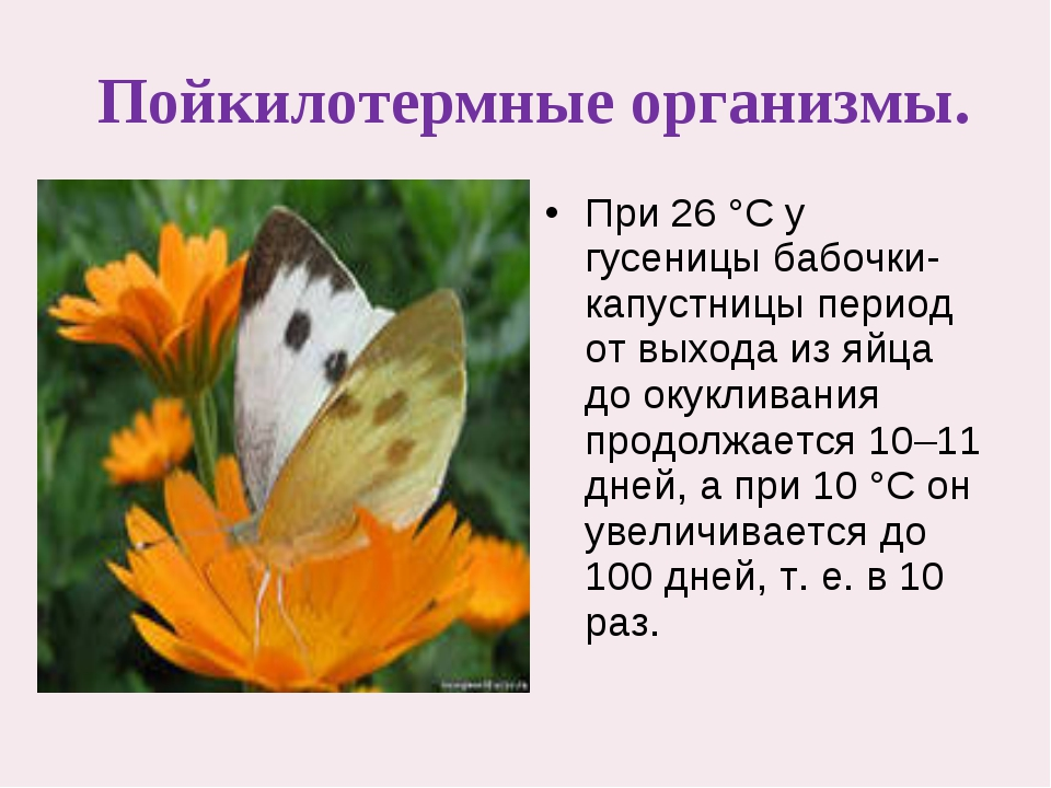 Пойкилотермные организмы. При 26°C у гусеницы бабочки-капустницы период от...