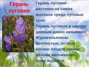 Герань луговая Герань луговая- растение не самое высокое среди луговых трав.