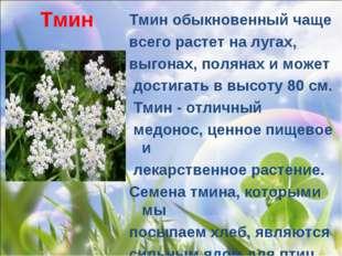 Тмин Тмин обыкновенныйчаще всего растет на лугах, выгонах, полянах и может д