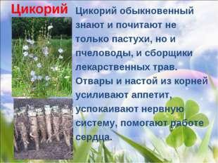 Цикорий Цикорий обыкновенный знают и почитают не только пастухи, но и пчелов