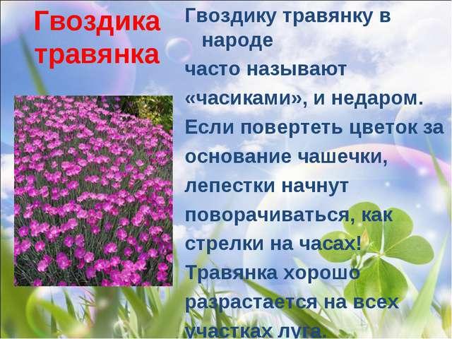 Гвоздика травянка Гвоздику травянку в народе часто называют «часиками», и нед...