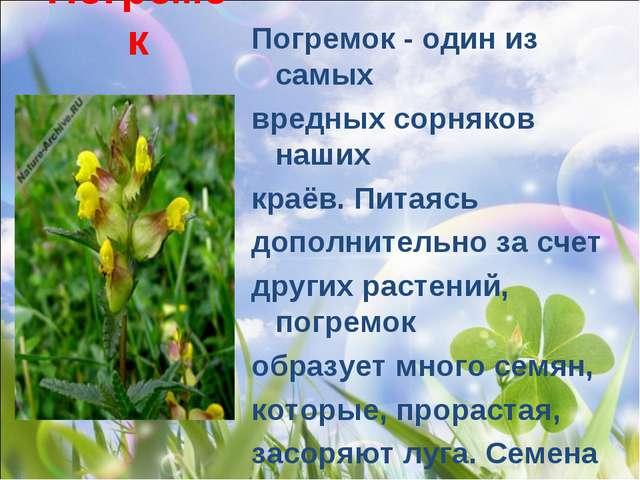 Погремок Погремок- один из самых вредных сорняков наших краёв. Питаясь допо...