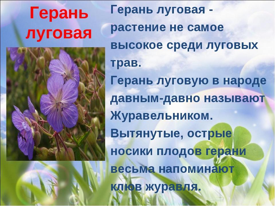 Герань луговая Герань луговая- растение не самое высокое среди луговых трав....
