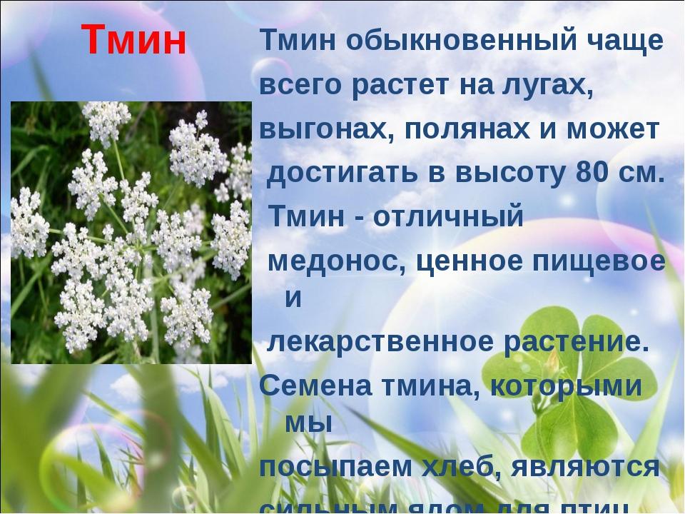 Тмин Тмин обыкновенныйчаще всего растет на лугах, выгонах, полянах и может д...