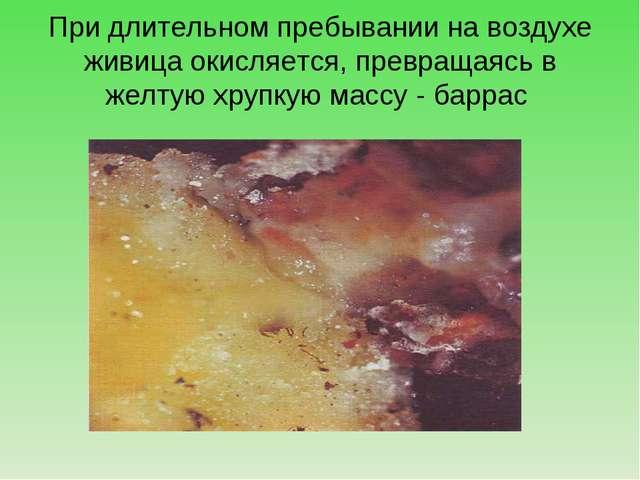 При длительном пребывании на воздухе живица окисляется, превращаясь в желтую...