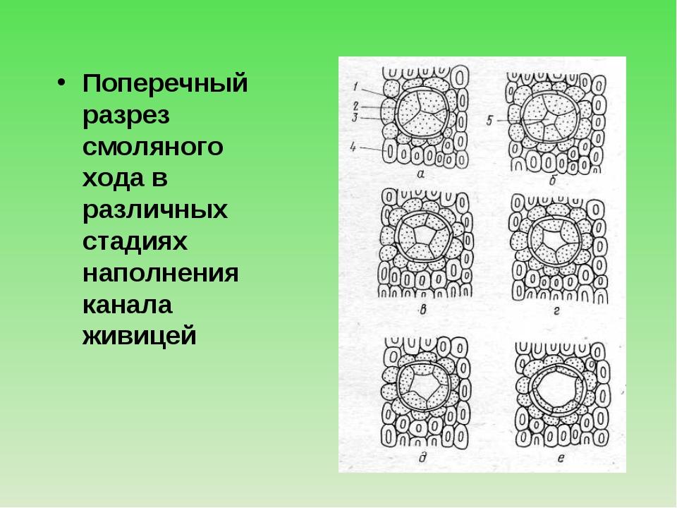 Поперечный разрез смоляного хода в различных стадиях наполнения канала живицей