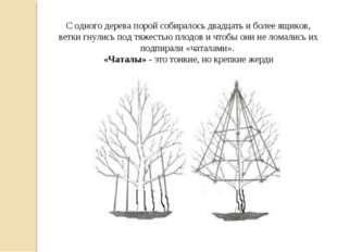 С одного дерева порой собиралось двадцать и более ящиков, ветки гнулись под т
