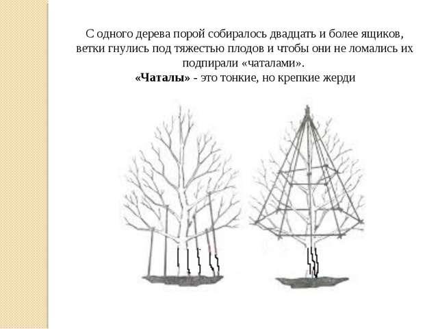 С одного дерева порой собиралось двадцать и более ящиков, ветки гнулись под т...