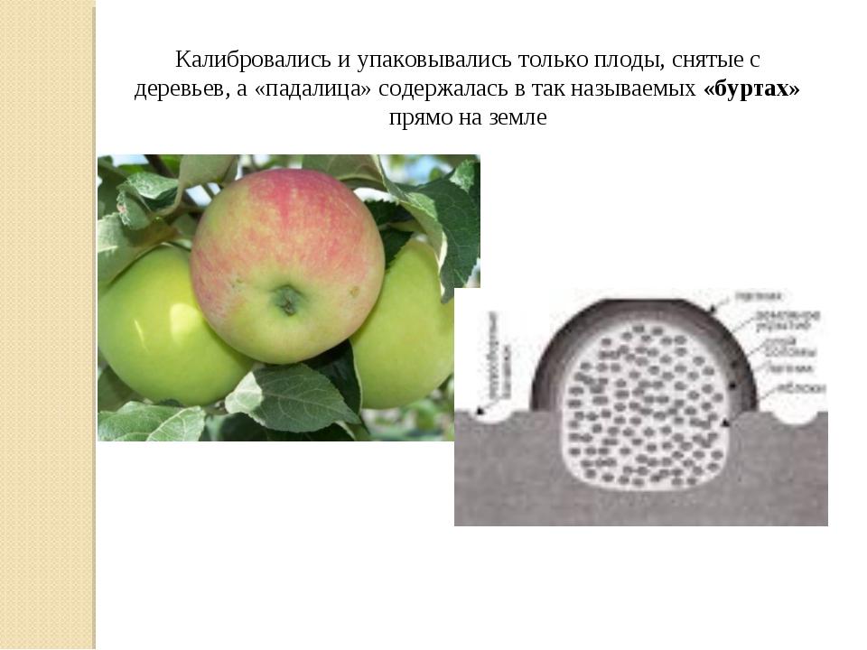 Калибровались и упаковывались только плоды, снятые с деревьев, а «падалица» с...